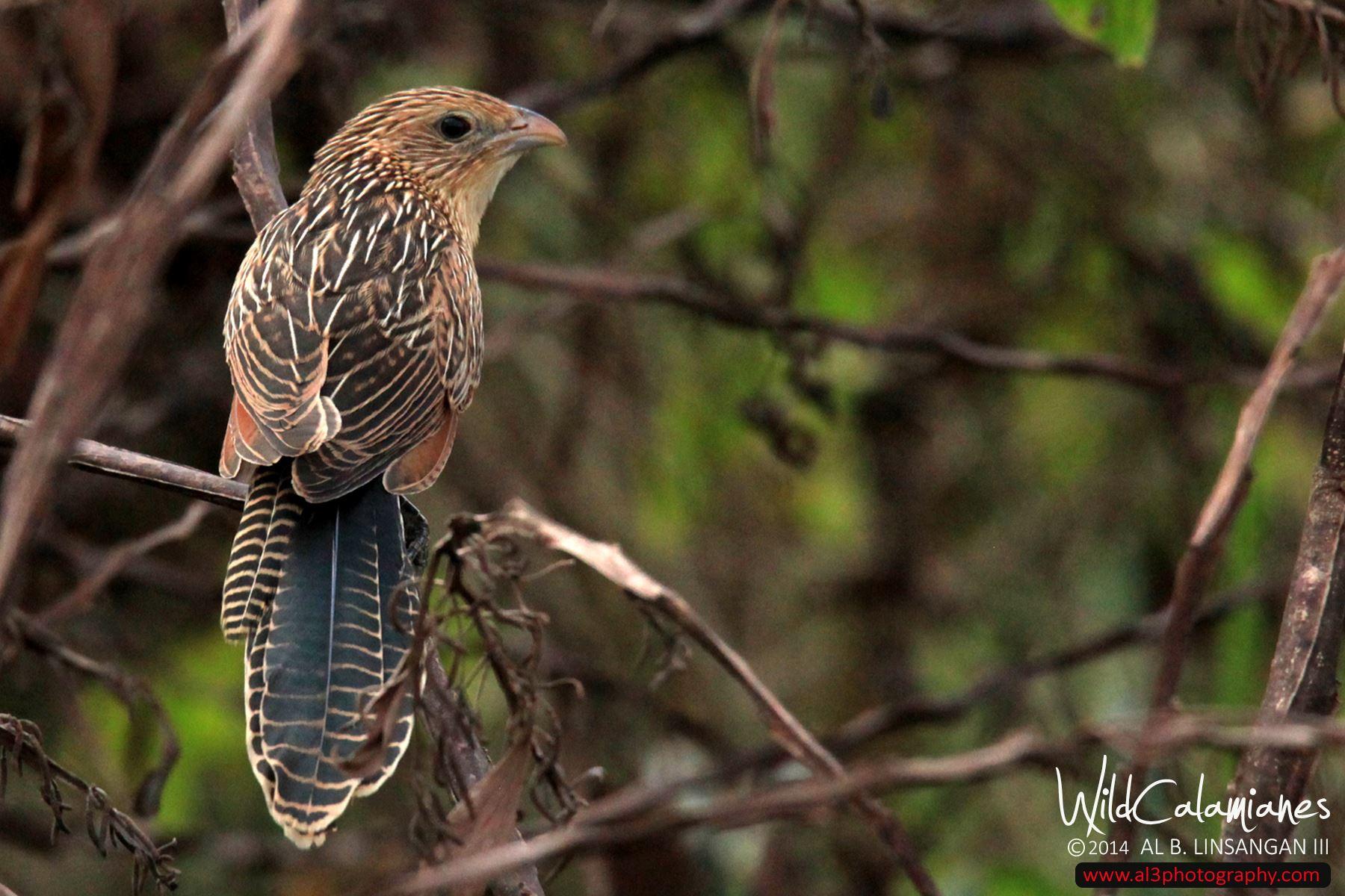 Birding Coron