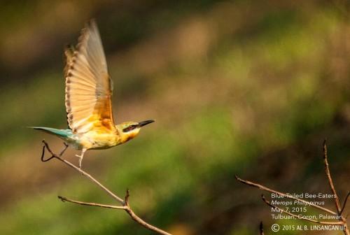 Birding Coron2